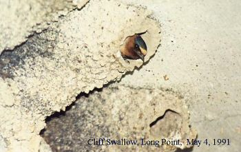 photo of a Cliff Swallow