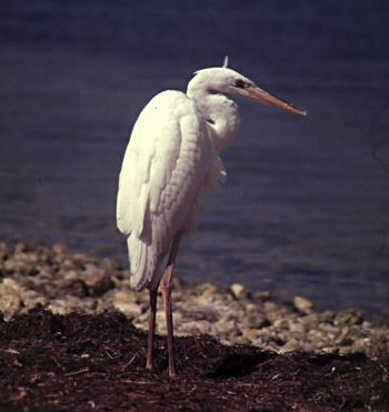photo of a Great White Heron
