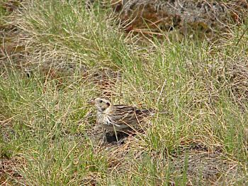 photo of a female Lapland Longspur