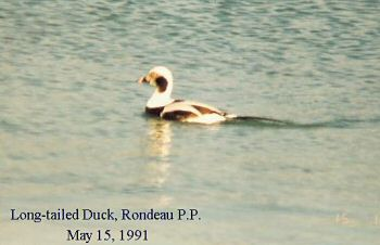 photo of a Long-tailed Duck