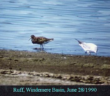 photo of a Ruff