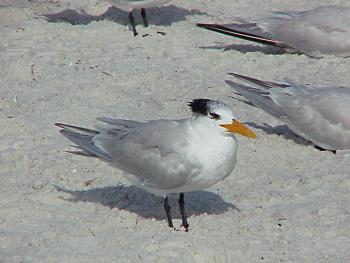 photo of a Royal Tern