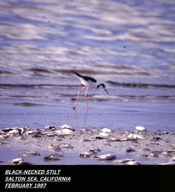 photo of a Black-necked Stilt