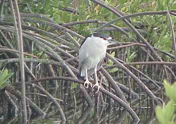 photo of Black-crowned Night-Heron