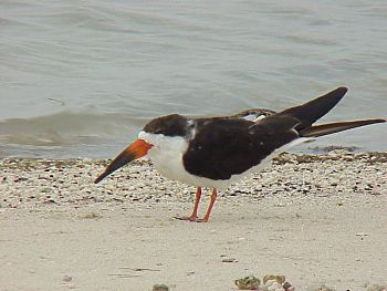 photo of a Black Skimmer