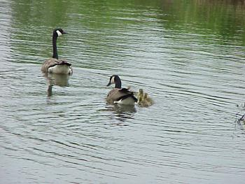 photo of a Canada Goose and Goslings
