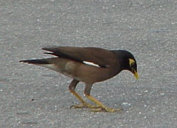 photo of a Common Myna