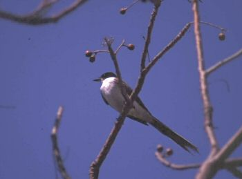photo of a Fork-tailed Flycatcher