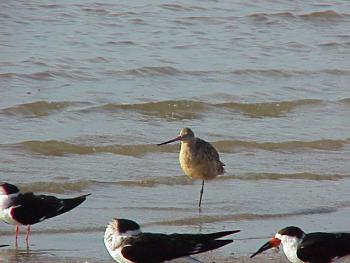 photo of a Marbled Godwit