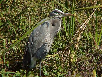 photo of a Great Blue Heron