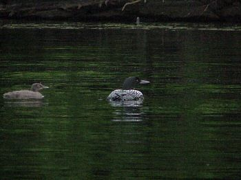 photo of a Common Loon and young