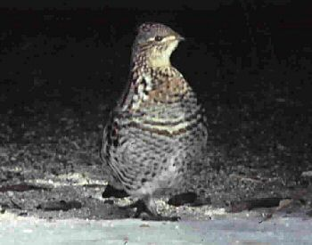 photo of a Ruffed Grouse