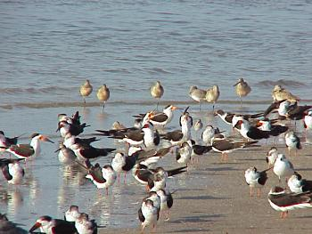 photo of Black Skimmers and Marbled Godwit