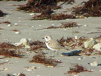 photo of a Snowy Plover