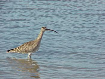 photo of a Whimbrel