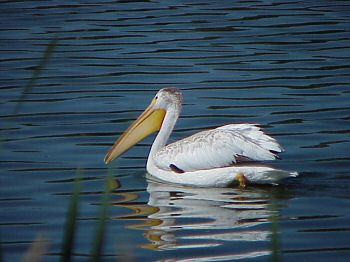 photo of a White Pelican