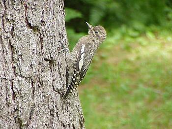 photo of a Yellow-bellied Sapsucker