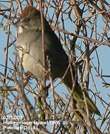 photo of a Green-tailed Towhee